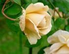 ガラスの森のバラ-5