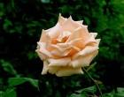 ガラスの森のバラ-6