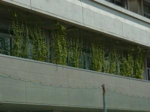 8月15日のグリーンカーテン