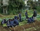 畑からベンリナを収穫