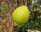 レモン(体育館裏)