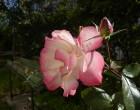 バラが寒さに耐えて咲いていました