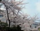 ソメイヨシノ(城山通り沿い)
