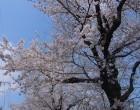 ソメイヨシノ(園芸実習園裏)