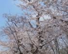 ソメイヨシノ(万葉の小径)