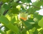 チューリップツリー(けやき広場)