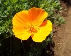 カリフォルニアポピー(園芸実習園)