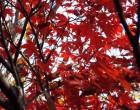 紅葉(図書館裏)