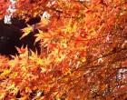 紅葉(万葉の小径)