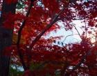 カエデ(城山通り沿い)