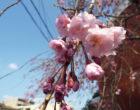 シダレザクラ(石川記念館前)