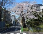 サクラ(正門前)…1本だけ残った創立当時からの桜「並木」