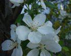 ヒメリンゴ(城山通り沿い)